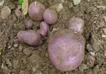 The trumfa: the Andorran potato